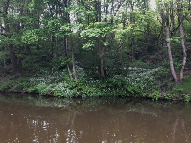 Ramsons in Toads Hole Wood