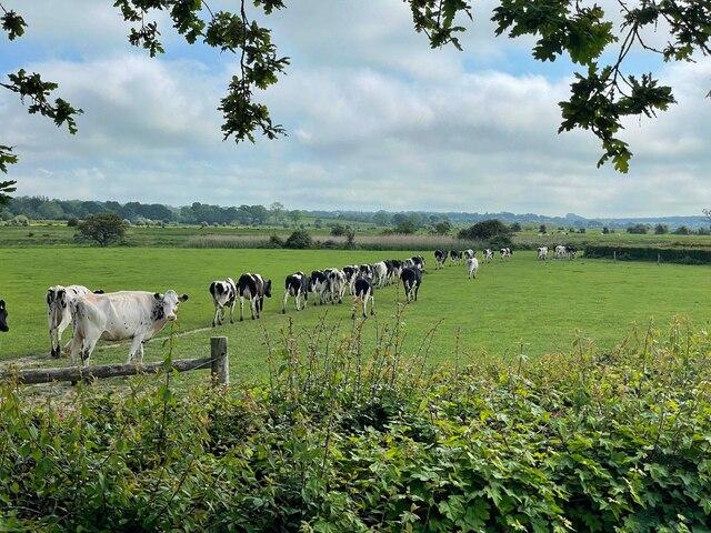 Cows near Longleys Farm