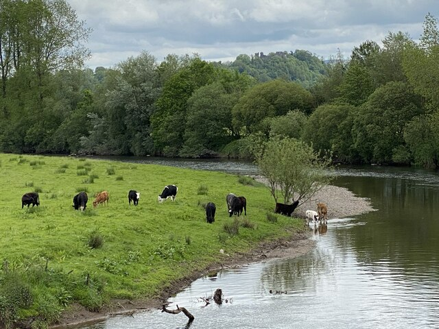 Cattle grazing on the banks of the Tywi