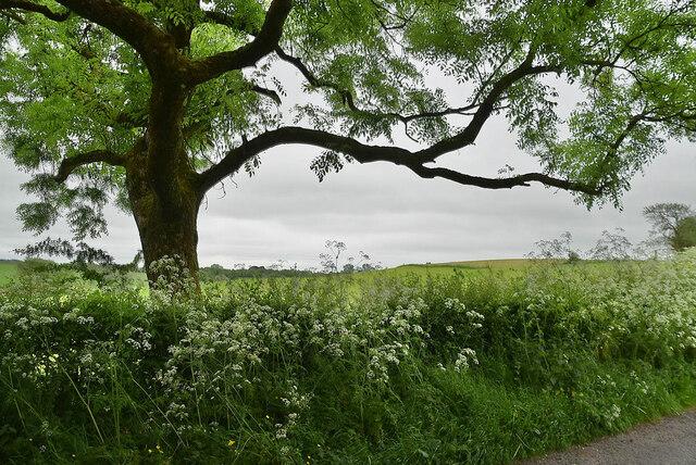 Tree and hedge, Lisboy
