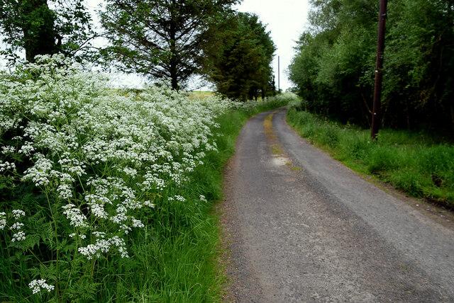 Hemlock along Lisboy Road
