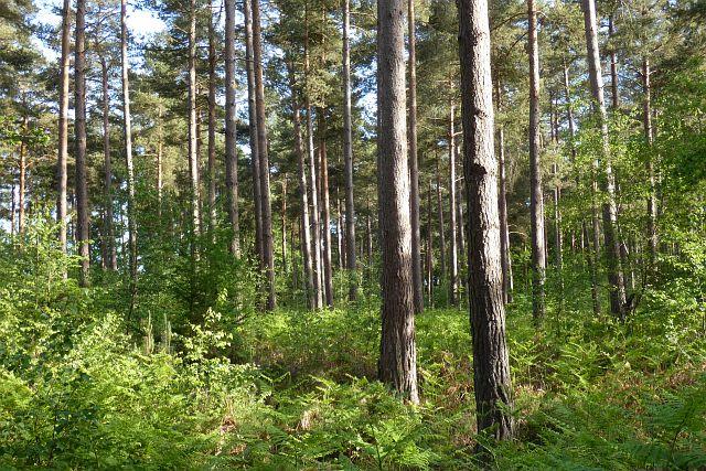 Woodland, Stratfield Mortimer