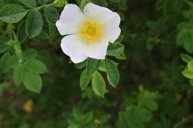 Wild Rose, Merryhills Way, Enfield