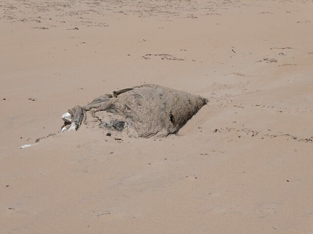 Dead porpoise on the beach north of Rattray Head