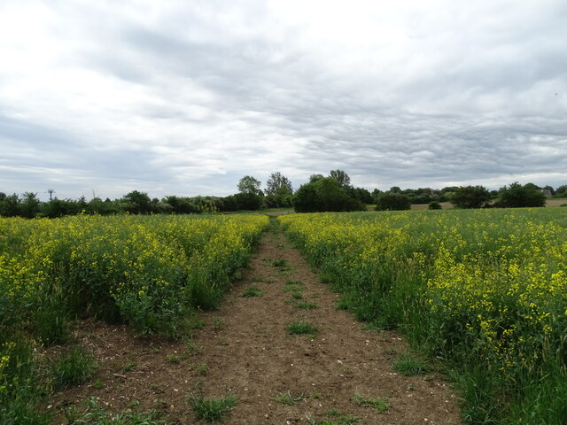 Path through rapeseed