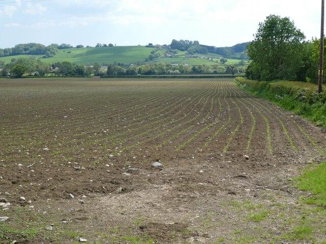 Emerging crop, south of Hedge Lane