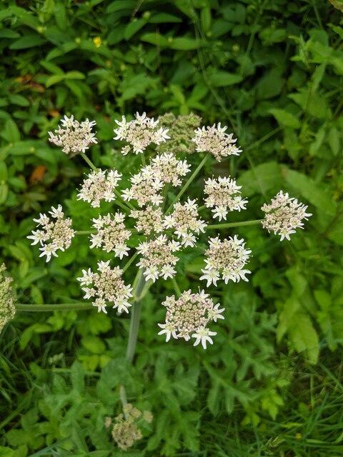 An Angelica flower