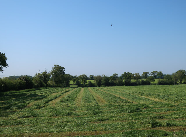 Cut silage by Hall Road
