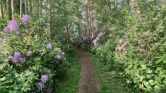 Wild rhododendrons taking over residential footpath