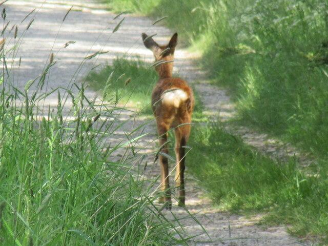 Deer near Keldy