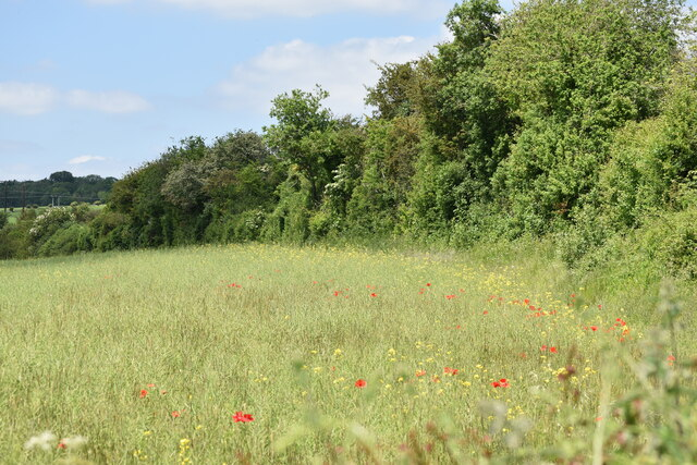 Field edge with poppies