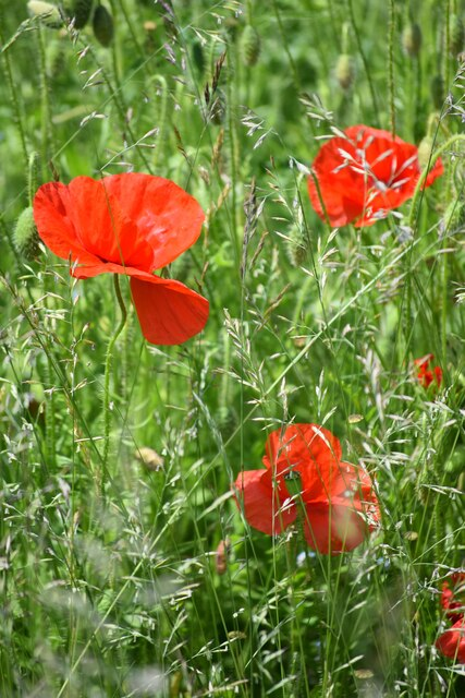 Pathside poppies