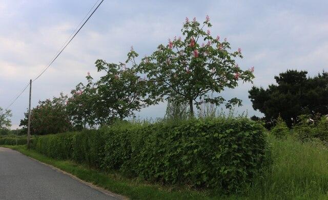 Sweet chestnut trees on East Road, East Mersea