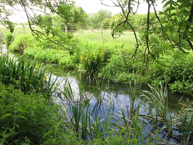 Yellow flag iris, Shire Ditch, Uxbridge
