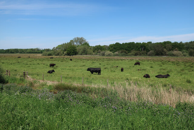 Cattle by the River Wissey