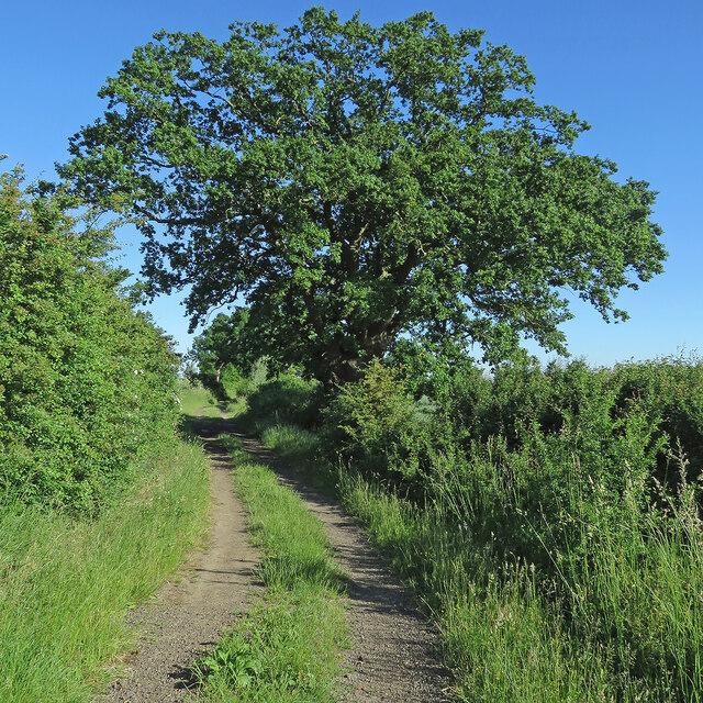 A fine oak on Rampton Drift