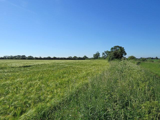 A barley field by Gun's Lane