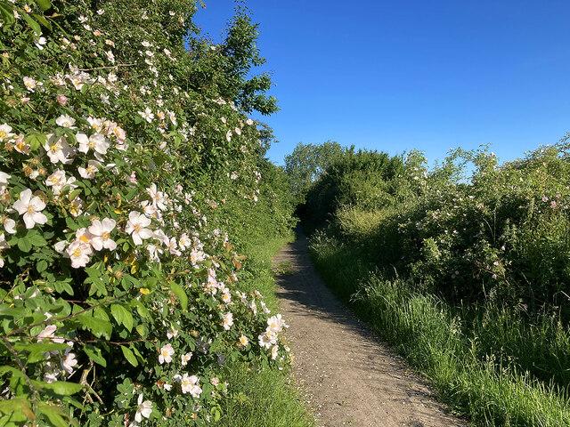 Dog roses by Gun's Lane