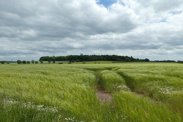 Barley fields beside Mill Lane