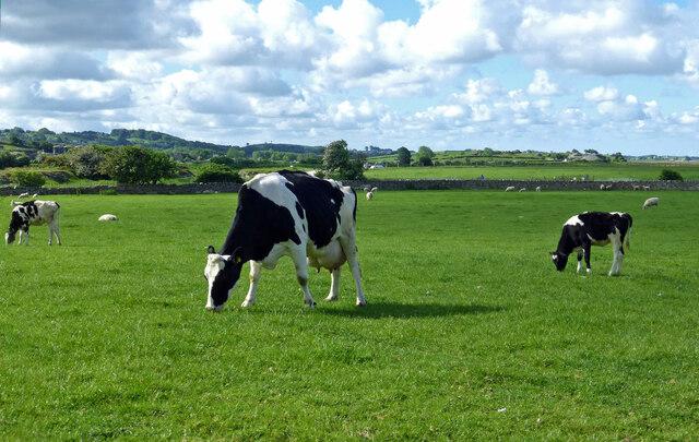 Dairy cattle near Warton