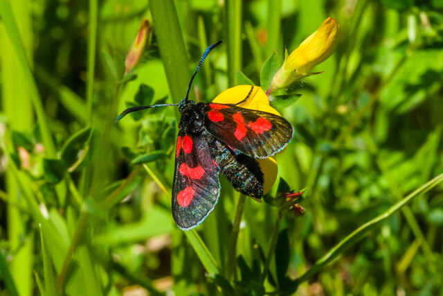 Narrow-bordered Five-spot Burnet (Zygaena lonicerae)