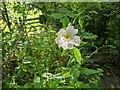 TF0820 : Rosa canina by Bob Harvey