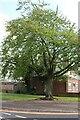 TQ4990 : Tree on White Hart Lane, Collier Row by David Howard