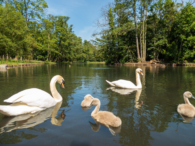 Mute Swans and cygnets at Boultham Park, Lincoln