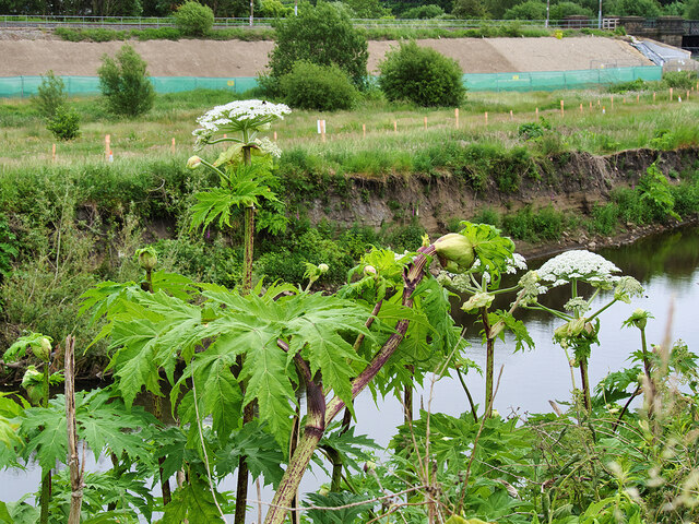 Giant Hogweed by the River Irwell