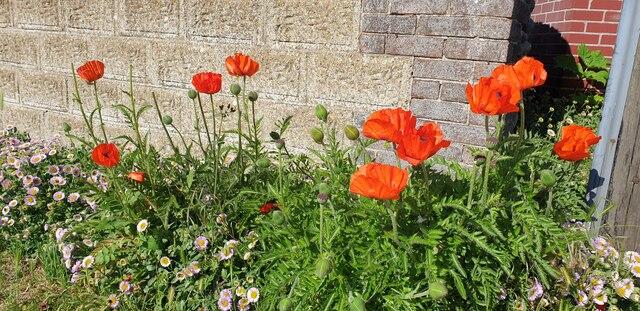Poppies in Mundesley, Norfolk