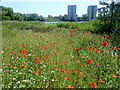 TQ4780 : Poppies at South Mere by Marathon