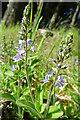 NJ4258 : Heath Speedwell (Veronica officinalis) by Anne Burgess