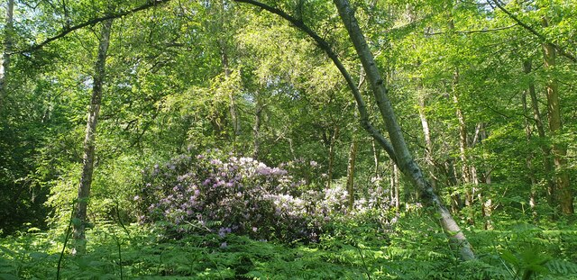 Rhododendron, Trent Park
