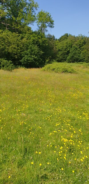 Buttercup Field in Trent Park