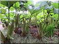 NT2475 : Inside the Gunnera jungle at RBG Edinburgh by M J Richardson