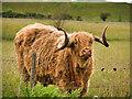 SD7909 : Highland Cow at Old Hall Farm by David Dixon