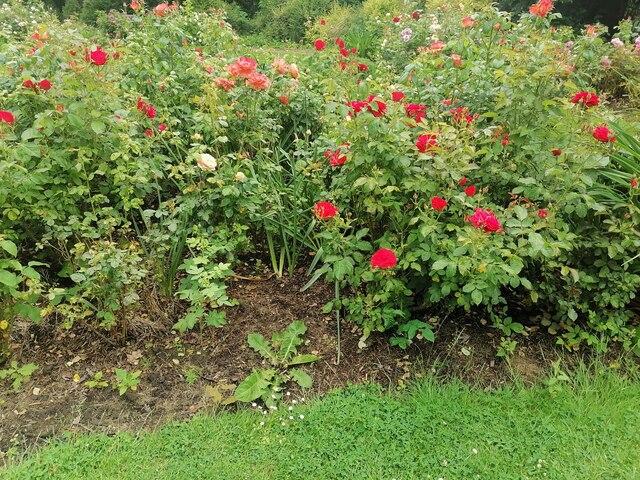 Roses in Northway Gardens, Hampstead Garden Suburb