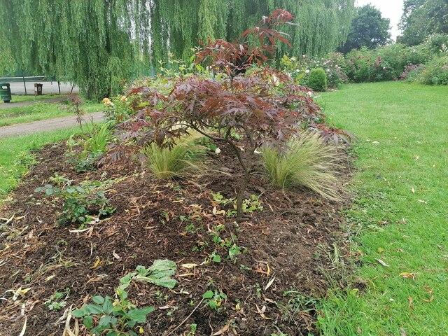 Japanese maple in Northway Gardens, Hampstead Garden Suburb