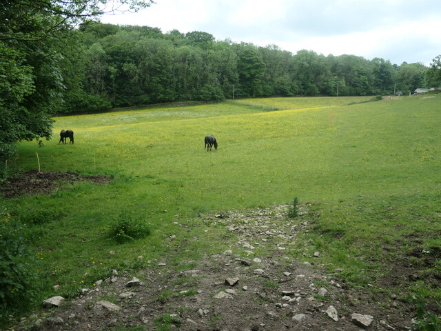 Horses in a buttercup paddock