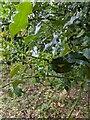 TF0821 : Ilex aquifolium - green berries by Bob Harvey