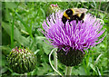 NJ2442 : Bumble Bee on Melancholy Thistle by Anne Burgess