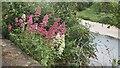 NT8440 : Valerian growing by the Tweed in Coldstream by Jennifer Petrie