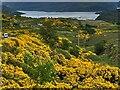 NC2134 : Flowering gorse by Graham Hogg