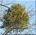 TQ0350 : Clandon Park - Mistletoe by Colin Smith