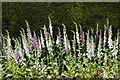 SP8922 : Foxgloves at Ascott House Grounds by Christine Matthews