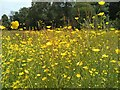NS5574 : Buttercup bonanza by Richard Sutcliffe