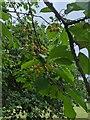 TF0820 : Cherry tree fruit by Bob Harvey