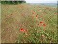 TQ6561 : Poppies in a field by Marathon