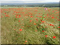 TQ6561 : Poppies near the North Downs Way by Marathon