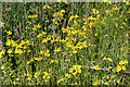 NJ2342 : Monkeyflower (Mimulus guttatus) by Anne Burgess